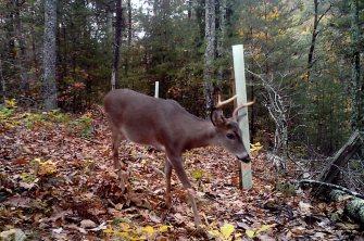 Nick-Davis-trail-cam-deer-1